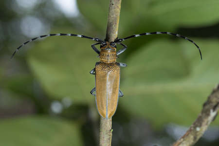 long horn beetle: