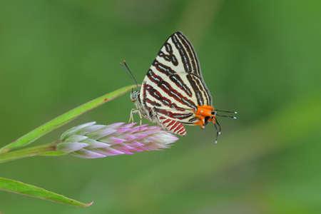 silverline: Long-banded Silverline Butterfly