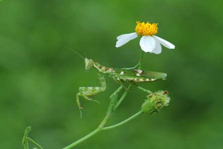 mantis: Flower Praying Mantis Stock Photo