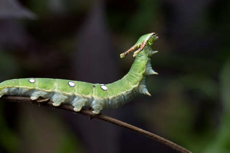 Caterpillar of Nawab butterfly in Thailand. Stock Photo