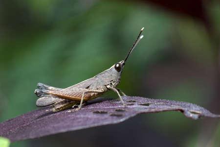 Grasshopper in purple leaf.