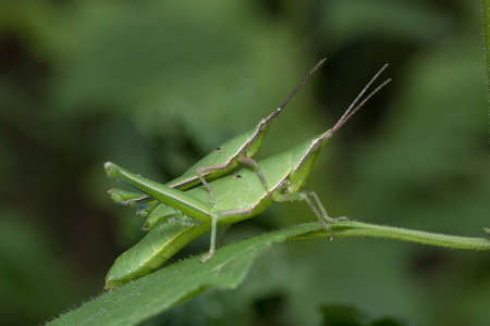 Long-faced Grasshopper in Southeast Asia.