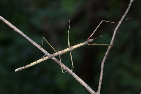 Stick Insect in Southeast Asia. Stock Photo