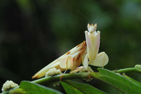 Orchid Mantis in Southeast Asia. Stock Photo