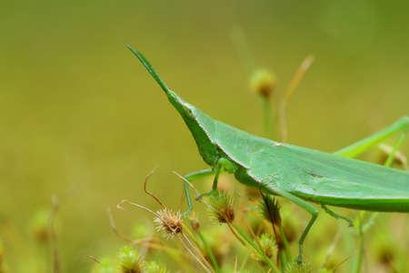 Long faced Grasshopper in Asia.