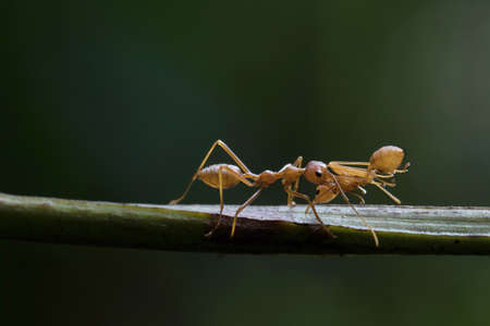 Red Ant in Thailand. Stock Photo
