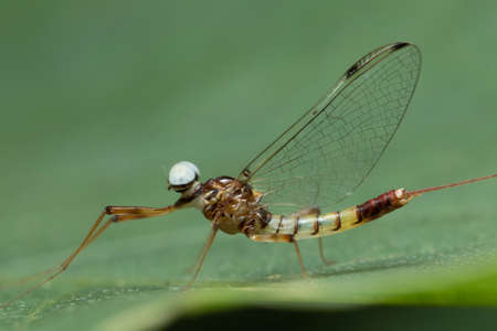 Mayfly in Southeast Asia.