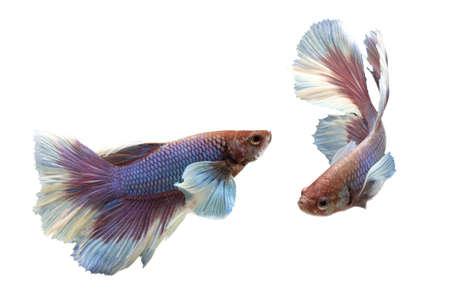 dragon swim: Siam Fighting Fish on white background.