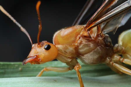 Queen Ant portrait in Southeast Asia.
