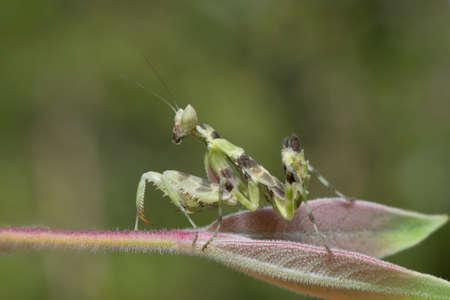 mantis: Mantis in Thailand.