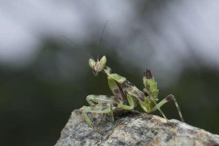 Mantis in Thailand.
