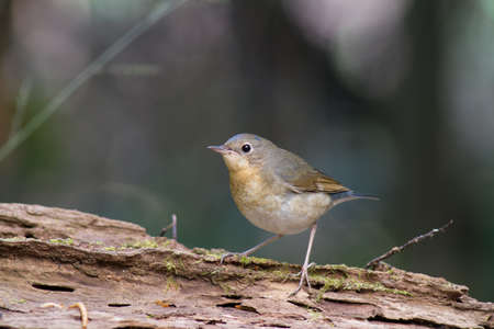 Birds in Thailand and Southeast Asia.