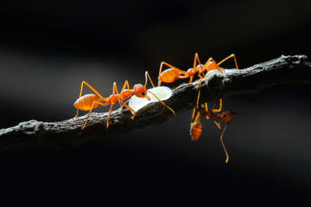 Red Ant with the Egg.