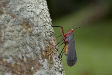 Lantern Fly in Thailand. Stock Photo