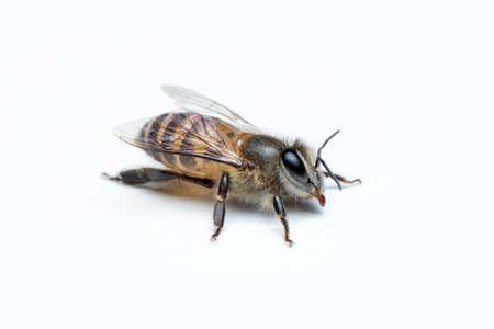 Honey Bee in White Background.