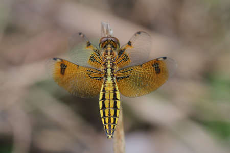 Dragonfly in Thailand. Stock Photo