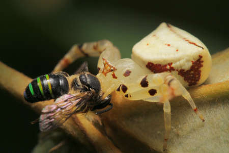 crabspider: Crab Spider eating Bee in Southeast Asia.