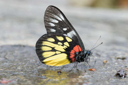 Butterfly in Thailand and Southeast Asia. Stock Photo