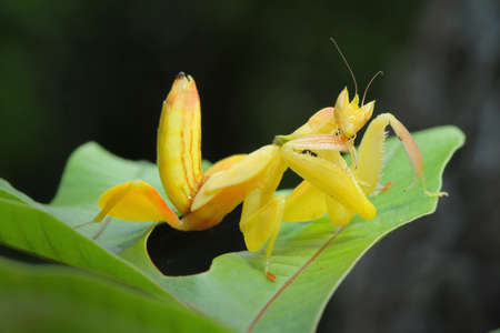 Yellow Orchid Preying Mantis in Thailand.