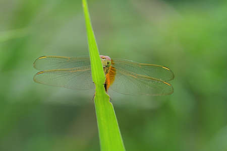 Dragonfly in Thailand and Southeast Asia.