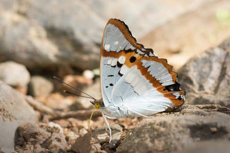 Butterflys in Thailand and Southeast Asia. Stock Photo