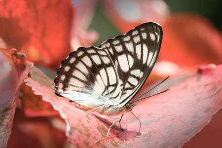 butterflys: Butterflys in Thailand and Southeast Asia. Stock Photo