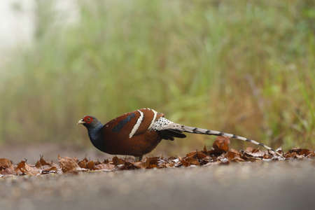 Pheasant rare Birds in Thailand and Southeast Asia.