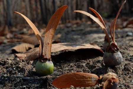 Seeds tree on After wildfire in the forest. Stock Photo