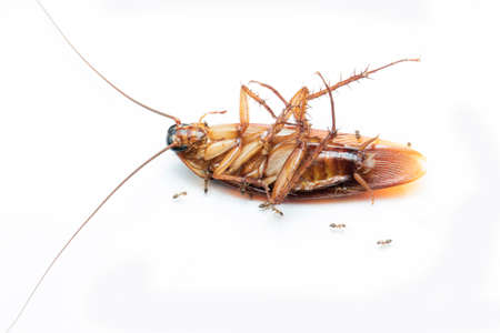 Cockroache dead on white background.