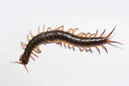 The Giant red Centipede dangerous in the Garden.