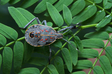 Shield bug in Thailand and Southeast Asia.