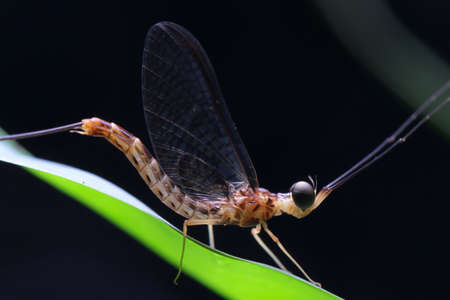 Mayfly in Thailand and Southeast Asia.