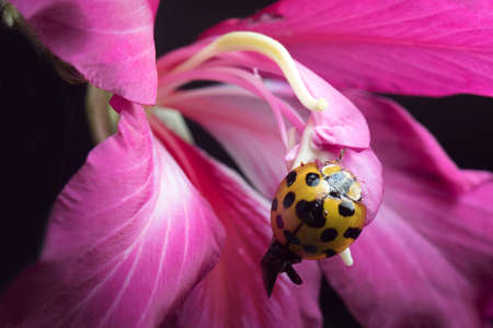 Lady Beetle in Thailand and Southeast Asia. Stock Photo