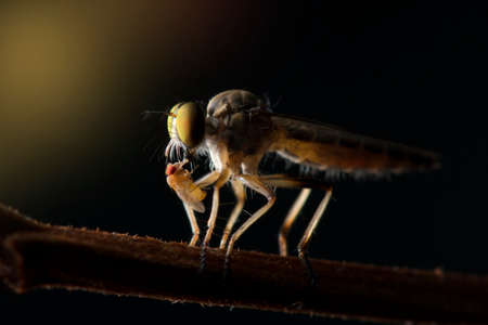 The Robber fly close up in Thailand and Southeast Asia.