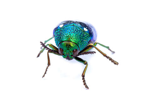 Jewel beetle or Metallic wood-boring beetle in Southeast Asia.