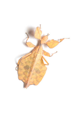 Leaf Insect on White Background. Stock Photo