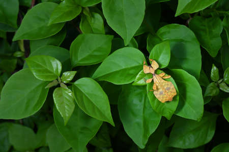 Leaf Insect on nature background. Stock Photo