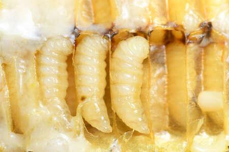 Larva Honey Bee in Beehive.