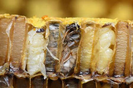 Pupa Honey Bee in beehive.