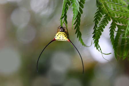 Spiny Orb Spider in Thailand and Southeast Asia.