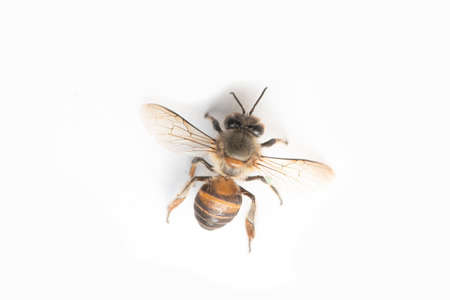 Honey Bee on White Background.