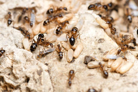 Black Ants with Eggs and Pupa in the nest on nature background.
