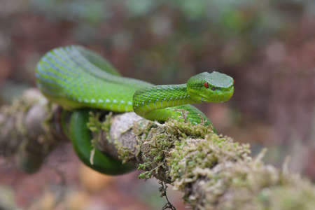 Green Pit Viper dangerous snake in Thailand and Southeast Asia.
