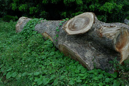 Old Log Wood in Nature Background.