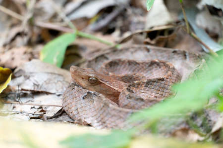 Malayan Pit Viper dangerous snake in Thailand and Southeast Asia.