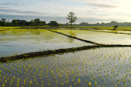 Rice plant pattern on paddy field in the morning.