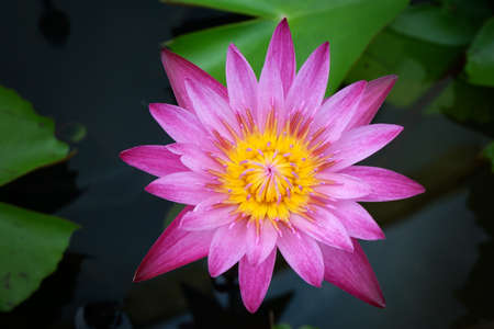 Water Lily in Nature background.