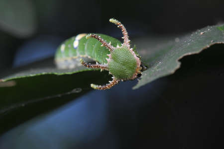 Caterpillars of Butterfly in Thailand and Southeast Asia.