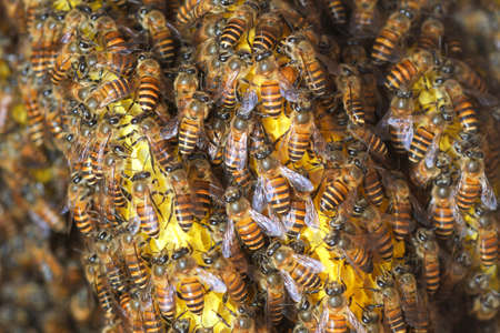 Honey Bees on bee hive in Southeast Asia.