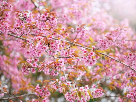 Pink Sakura flowers in nature background.